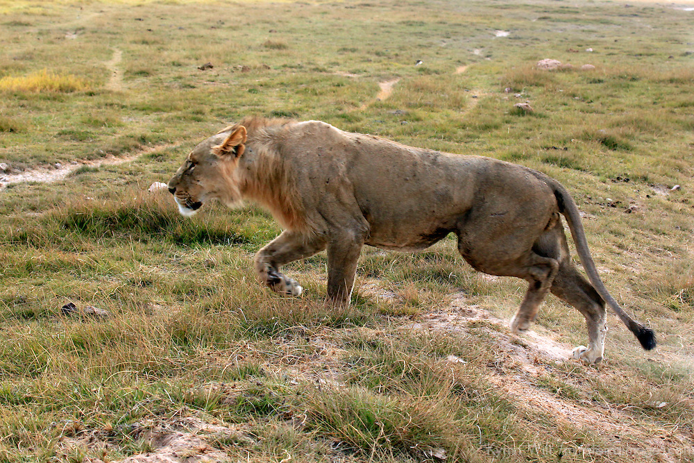 Africa, Kenya, Amboseli. Lion in Amboseli.
