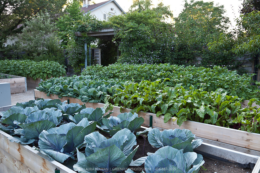 Red Cabbages Beets Brussel Sprouts And Potatoes Growing In A Rasied Bed Vegetable Garden