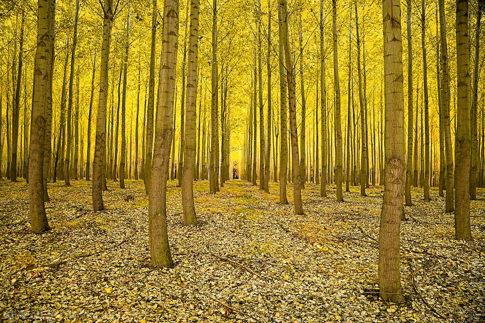 Hybrid Poplar grove, (Populus) Cottonwood, Boardman, Oregon, USA