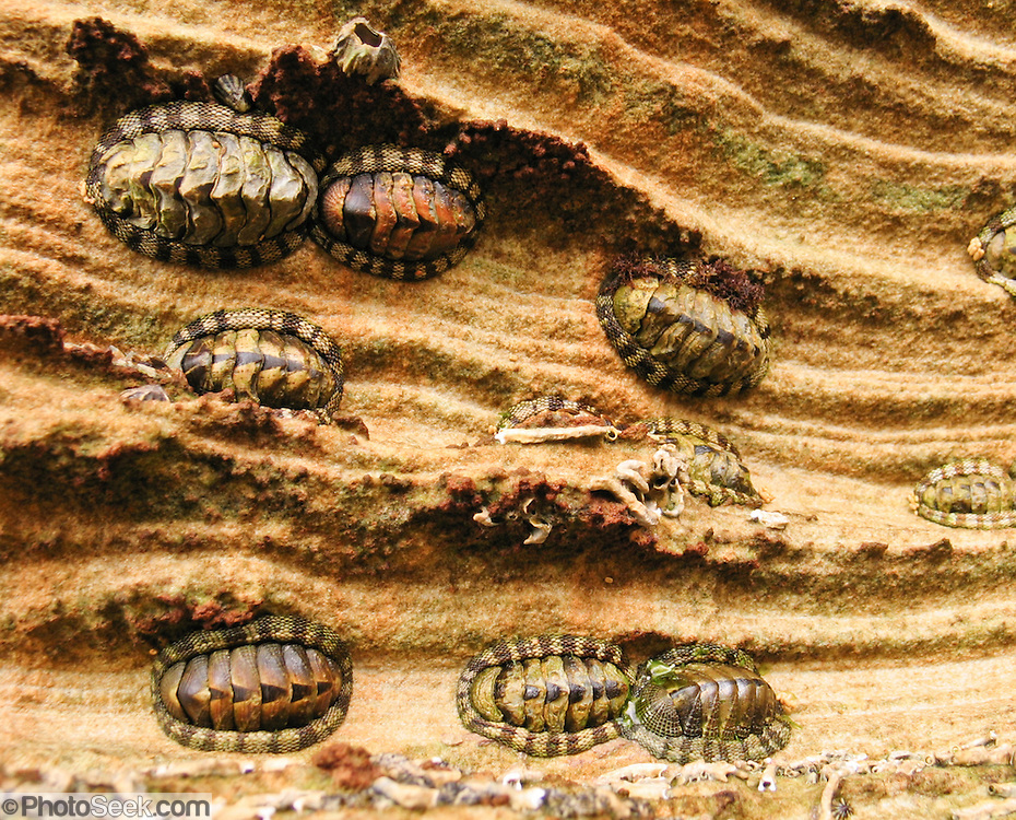 Chitons are marine molluscs in the class Polyplacophora (formerly Amphineura). The animals cling to sandstone of the Painted Cliffs, in Maria Island National Park, Darlington, Tasmania, Australia. Undercut by the Tasman Sea (South Pacific Ocean), the Painted Cliffs date from the Permian and Triassic, 300-200 million years ago.