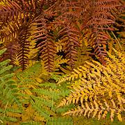 Bracken ferns (Pteridium aquilinum) display a variety of fall colors on a bluff above Deception Creek near Stevens Pass, Washington.