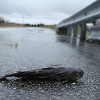 10/30/12 - Smyrna, DE - Hurricane Sandy - A fish lays dead on woodland beach road Tuesday, Oct. 30, 2012, in Smyrna DE.  ..SAQUAN STIMPSON/Special to The News Journal.