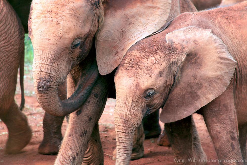 Africa, Kenya, Nairobi. Orphaned baby elephants cared for at David Sheldrick's Wildlife Trust in Nairobi.