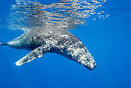 Friendly calf Humpback whale (Megaptera novaeangliae) in the Hawaiian Islands Humpback Whale National Marine Sanctuary in Maui, Hawaii. NOTICE MUST ACCOMPANY PUBLICATION: Photo obtained under NMFS Permit #753.