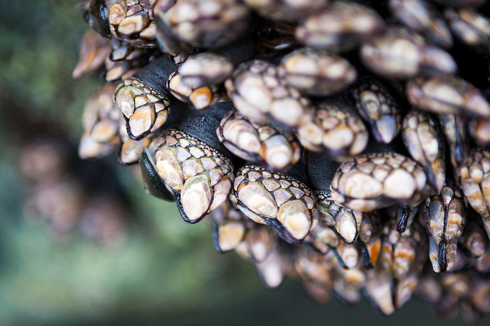 Gooseneck barnacles (Pollicipes polymerus) at Tsuquadra Point, West Coast Trail, British Columbia, Canada.