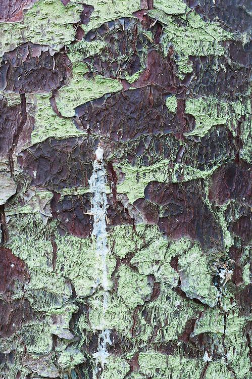 Glen Nevis, Lochaber District, sitka spruce bark.