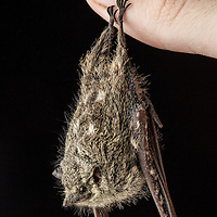 Proboscis Bat, Rhynchonycteris naso, on a thumb in Cocobolo Nature Reserve, Panama