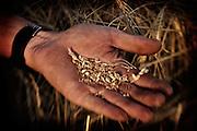 A farmer (Gordon Tomtene) holds the kernels from a wheat crop in his hand near the town of Birch Hills, Saskatchewan, Canada.