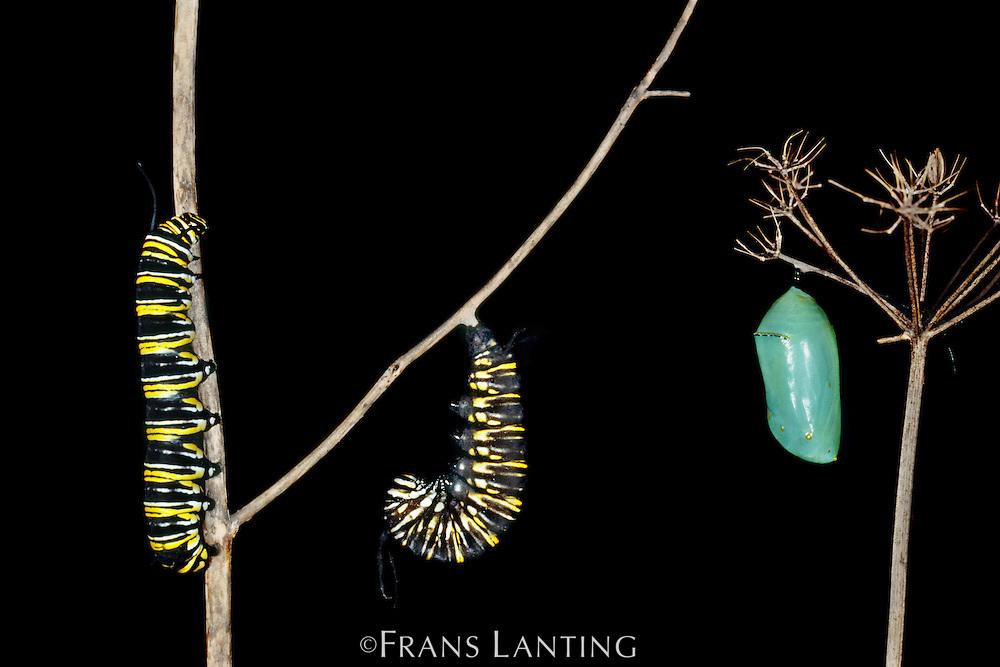 Monarch butterfly caterpillars and chrysalis, Danaus plexippus, Monterey Bay, California