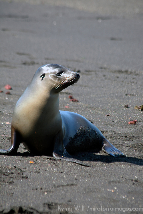 South America, Ecuador, Galapagos Islands, Santiago Island, James Island, Port Egas. A Galapagos Sea Lion.