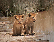 The lion cubs are about three months old.  They've stopped playing only long enough to get a drink.<br /> LIMITED EDITION PRINT
