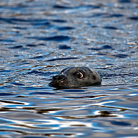 Common seal (aka harbour or harbor seals) Phoce vitulin, swimming with eyes and nostrils just above the surface , Isle of Skye, Scotland.