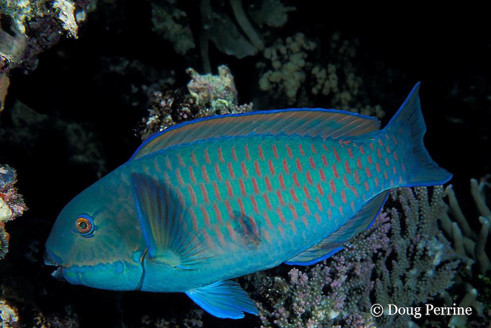 Gibbus parrotfish or heavybeak parrotfish, Chlorurus gibbus, Great Barrier Reef, Australia ( Western Pacific Ocean )