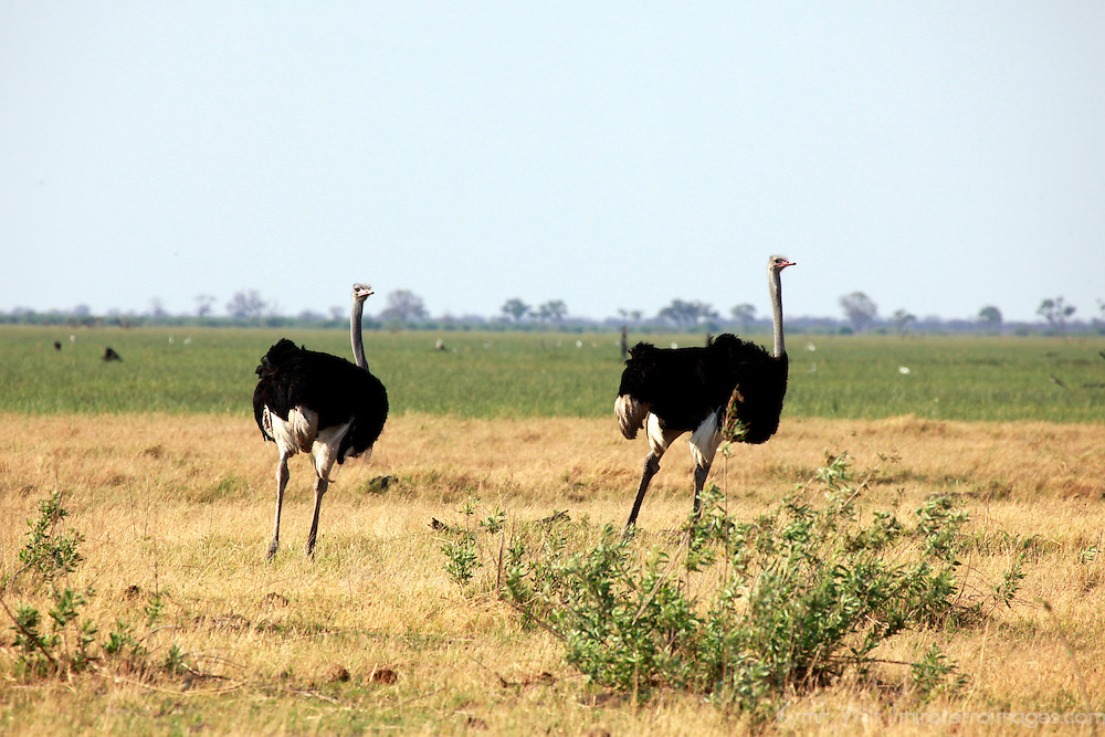 Africa, Botswana, Savute. Male Ostriches of Chobe national park.
