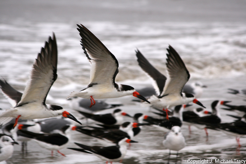 Flock of Skimmers, close up view, flying along the surf.