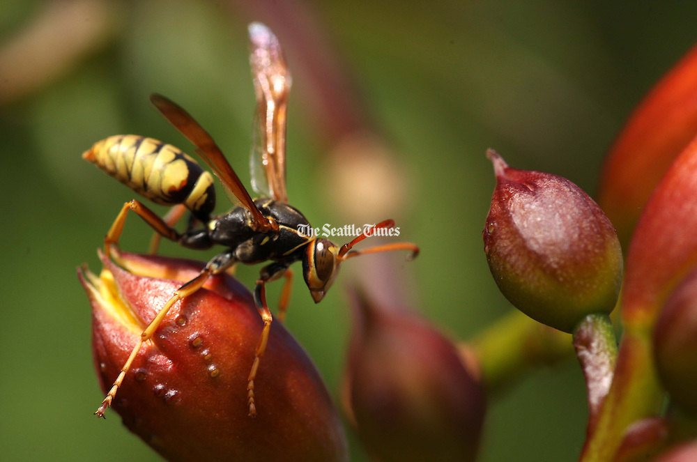 A paper wasp maneuvers around an orange trumpet vine in Seattle's Central District. Even wasps knock pollen around in flowers, which they defend by carrying off other bugs such as caterpillars to feed to their young. (Erika Schultz / The Seattle Times)<br />