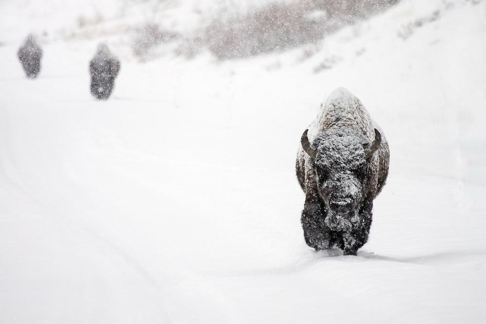 Three bison bulls navigate along the North Fork Highway during a late-season blizzard. Bison often use the plowed highway as a means of transportation as they make their way between the snow-covered meadows in the Shoshone National Forest.