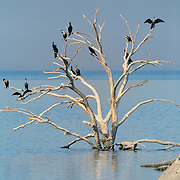 Double-crested Cormorants (Phalacrocorax auritus) perch on a drowned tree near Obsidian Butte, Sonny Bono Salton Sea Wildlife Refuge (EL -227ft).  This habitat for migratory birds is located along the course of the Pacific Flyway in the Imperial Valley of California.  Flooding by the Salton Sea has reduced the manageable area from 36,700 acres to 2,200 acres.  Dykes (dikes) now limit further encroachment.