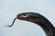 Eastern Indigo Snake (Drymarchon couperi)<br /> CAPTIVE<br /> The Orianne Indigo Snake Preserve<br /> Telfair County, Georgia<br /> USA<br /> HABITAT &amp; RANGE: Long leaf pine sandhills of central plains of Georgia, southern South Carolina south through Florida and west to Louisiana, Mississippi, and Alabama that are populated with Gopher Tortoises.<br /> Federally listed as THREATENED SPECIES