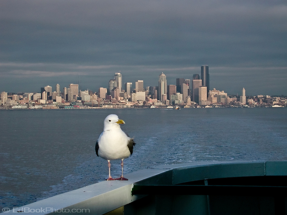 A California Gull catches a ride on one of the Washington State Ferries across Puget Sound with Seattle in the background.