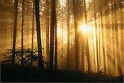 Trees, fog sun and sun rays. Spencer Butte Park, Eugene, Oregon.