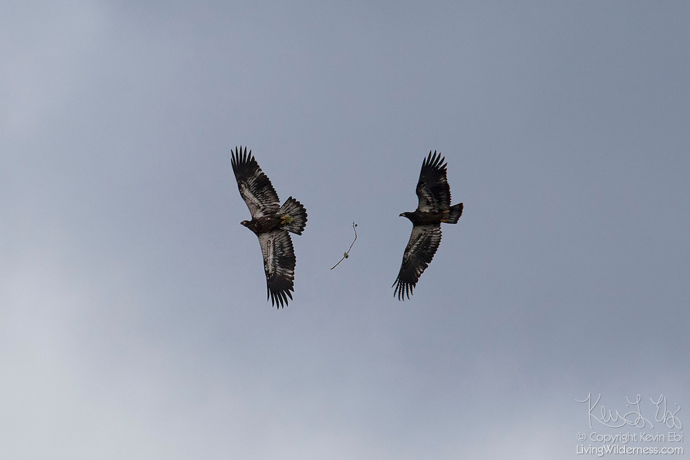 Two bald eagle fledglings (Haliaeetus leucocephalus) practice their flying skills by attempting to pass a stick in flight. The second eagle, however, missed and the stick fell to the ground.