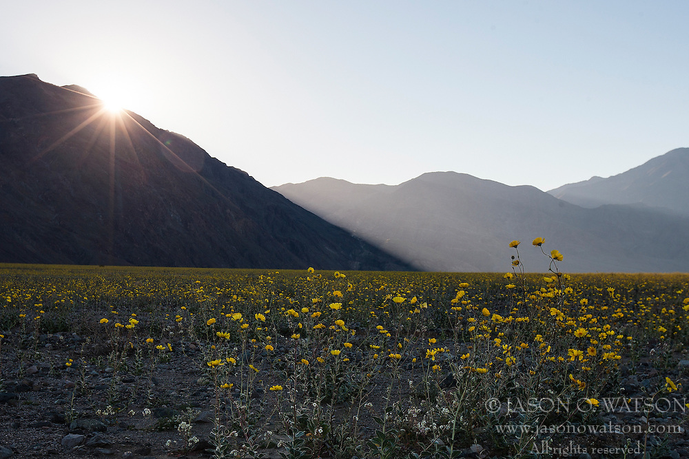 Desert Gold (Geraea canescens) wildflowers on February 19, 2016 in Death Valley National Park, California, United States of America