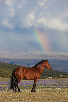 Wild mustang in a field of lupine with a rainbow