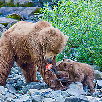 A grizzly mother provides fresh caught samon for her three cubs.
