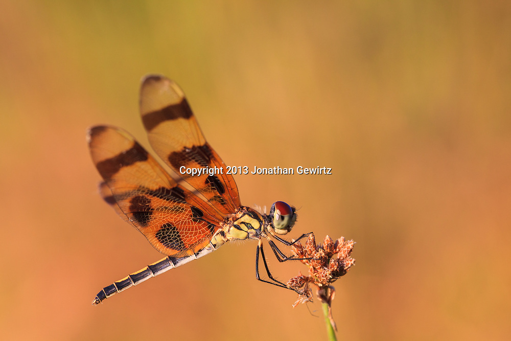 Closeup view of a Halloween Pennant (Celithemis eponina) dragonfly perched on a plant stalk in the Shark Valley Section of Everglades National Park, Florida. WATERMARKS WILL NOT APPEAR ON PRINTS OR LICENSED IMAGES.