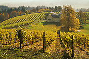 David Hill Vineyards and Winery with Fall color in vines and trees; Forest Grove, Oregon.