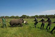 White Rhinoceros (Ceratotherium simum) darted for relocation. Conservation Solutions Kester Vickery &amp; Vet Andre Uys moving the sedated animal for loading into crate<br /> Private Game Reserve<br /> SOUTH AFRICA<br /> RANGE: Southern &amp; East Africa<br /> ENDANGERED SPECIES