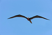 A male magnificent frigatebird (Fregata magnificens) flies over the Pacific Ocean near Sayulita, Mexico. During breeding season, male magnificant frigatebirds have a bright red throat pouch. The large bird has a wingspan of seven feet (two meters).