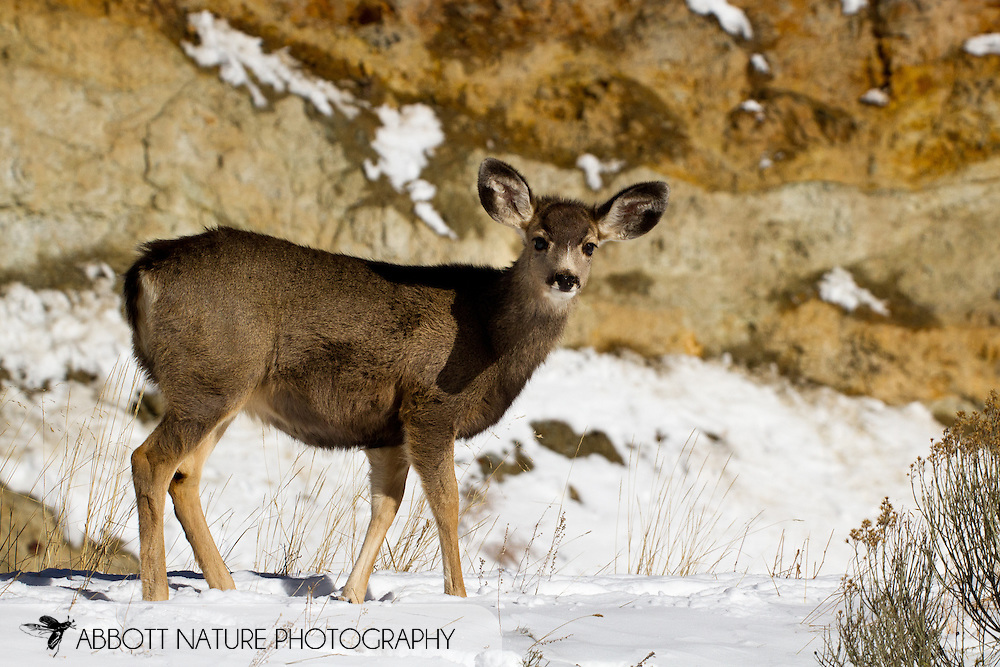 Mule Deer (Odocoileus hemionus)<br /> NEW MEXICO: Taos Co.<br /> Red River<br /> 2-Jan-2011<br /> J.C. Abbott