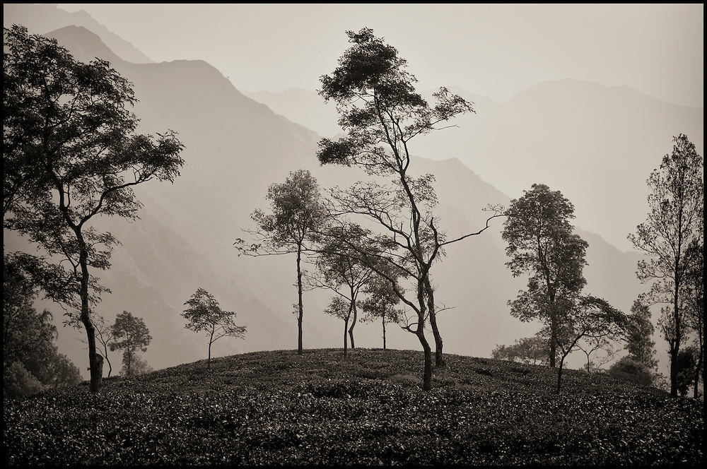 A hill of tea leaves in Darjeeling, India, against a backdrop of mountains in the distance.