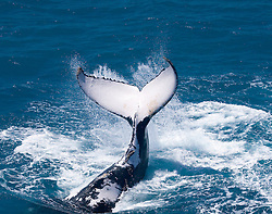 A humpback whale tail slapping off Broome's Cable Beach