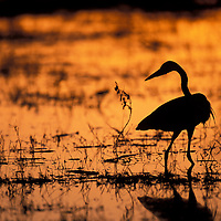 Africa, Botswana, Moremi Game Reserve, Yellow-bill Egret (E. intermedia) fishes in Khwai River at sunset.