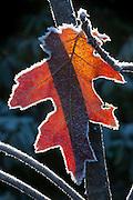 A red oak leaf, lined by hoar frost, is backlit by the winter sun.