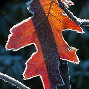 A red oak leaf, lined by hoar frost, is backlit by the winter sun.
