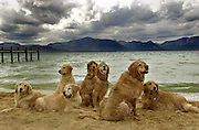 Golden retrievers relax after swimming in a cold Lake Tahoe while attending Camp Winnaribbun, a week-long dog camp. Photo taken on September 4, 2002.