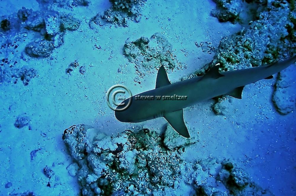 White-tip Reef Shark, Triaenodon obesus, (Rüppell, 1837), Maui Hawaii
