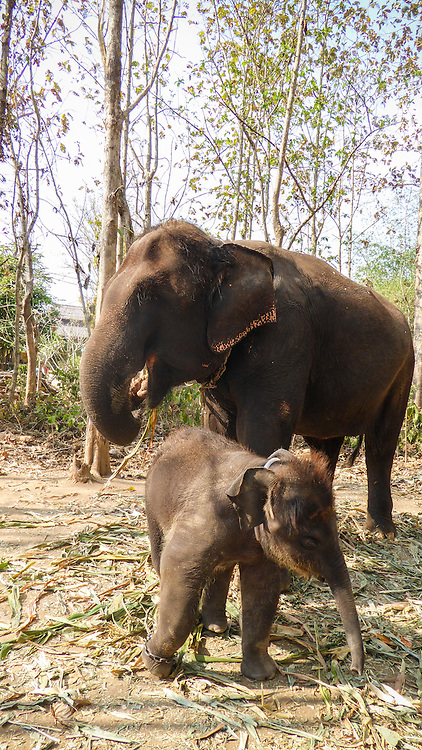 Baby elephant, Quan Jai looking to the right while his mother, Tom Po looks to the left.