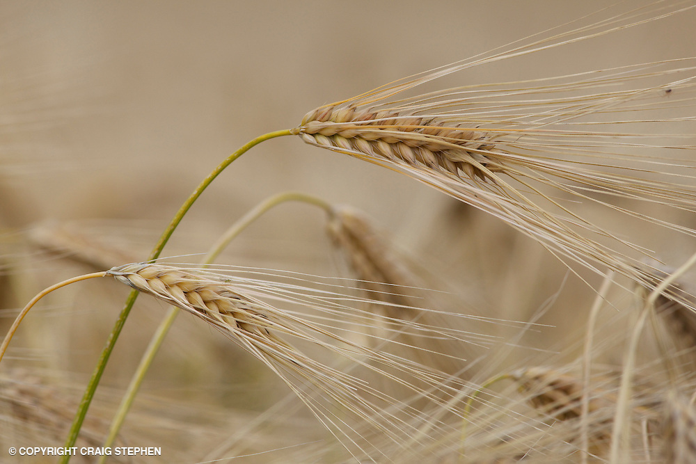 Isolated ears of barley in Perthshire, Scotland near to harvesting
