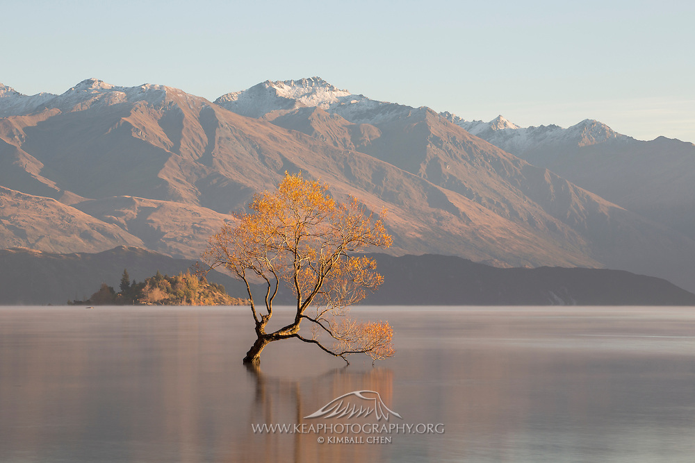 &quot;All that is gold does not glitter, not all those who wander are lost; the old that is strong does not wither, deep roots are not reached by the frost.&quot; ~ J.R.R. Tolkien<br /> <br /> A lake-swamped willow tree flourishes in Lake Wanaka, with subtle golden light cast on the mountains behind.