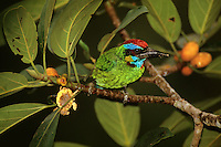 Red-crowned Barbet (Megalaima rafflesii) in a strangler fig tree (Ficus stupenda) in the canopy of the rain forest in Borneo.