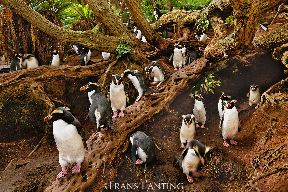 Snares crested penguins in forest, Eudyptes robustus, Snares Islands, New Zealand