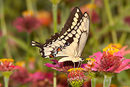 Giant Swallowtail (Papilio cresphontes)<br /> TEXAS: Victoria Co.<br /> Victoria<br /> 15.Nov.2009<br /> J.C. Abbott