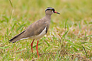 Crowned Lapwing.Vanellus coronatus.Polokane Nature Reserve,.near Pietersburg, .Limpopo Province,.South Africa.11 January 2006