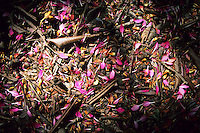 Pink flower petals on a rainforest floor, Tai Po Kau Nature Reserve, Hong Kong, China.