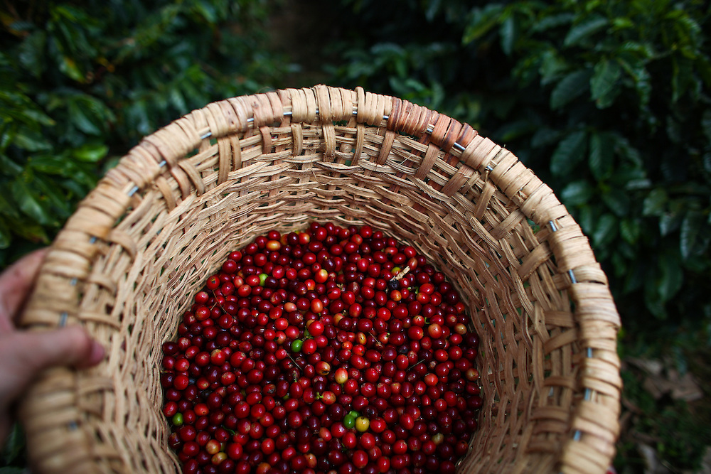 Coffee cherries harvested during the 2016 Starbucks Origin Experience for Partners. Photographed in January 2016. (Joshua Trujillo, Starbucks)